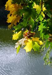 Autumn maple leaves on pond background