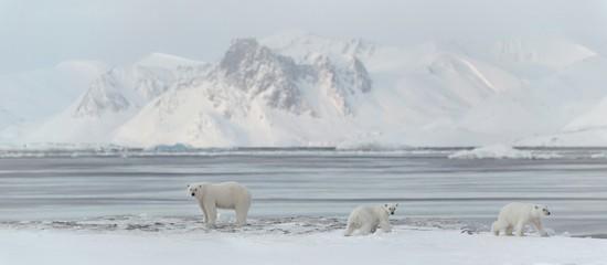 3 polar bears