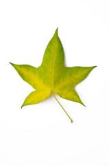 gelb-grünes Blatt