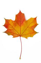 Ahornblatt rot-gelb