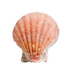 A sea shell on white