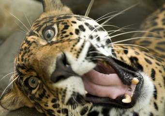 magnificent jaguar looking at camera with mouth open