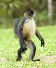 spider monkey adult walking on hind legs , costa rica