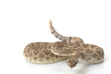 Dwarf Mojave rattlesnake