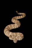 Speckled Rattlesnake poster