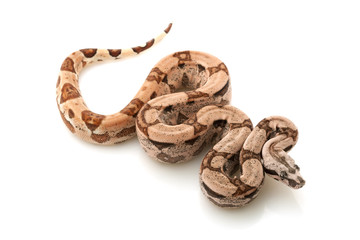 Arabesque Columbian red-tailed boa