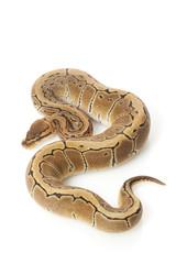 pastel pinstripe ball python