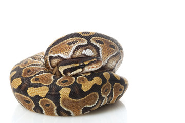 phantom ball python
