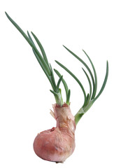 growing onion isolated