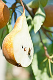 Cuted pear on tree with axis poster