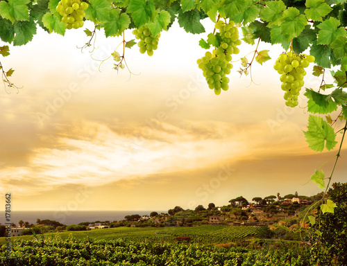 Vineyard by sea and grapevine