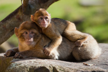 barbary ape and baby