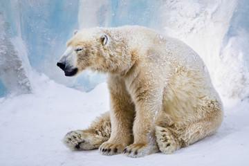 Tired polar bear yawning
