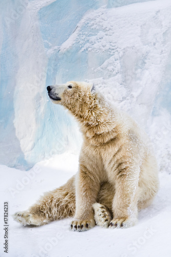 Fotobehang Ijsbeer Young polar bear looking around