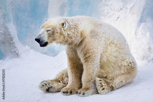Tuinposter Ijsbeer Tired polar bear yawning