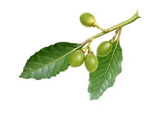 Green laurel fruit