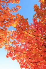Herbstlaub in leuchtendem Rot, rote Blätter am Baum