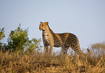 Leopard standing in the skyline
