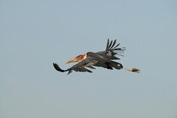 Marabú en vuelo