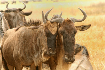 Gnu in Serengeti