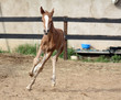young horse gallops fast