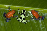 strawberry or blue jeans  and green and black poison dart frog poster