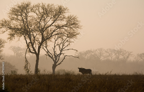 Wildebeest in the Mist at Dawn in South Africa