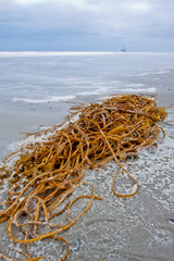 Tangle lying on the beach surf of the ocean