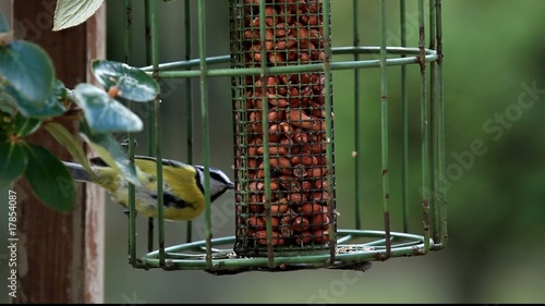 Blue Tit eating peanuts then flying off with one