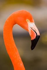 Red Caribbean flamingo close-up head detail