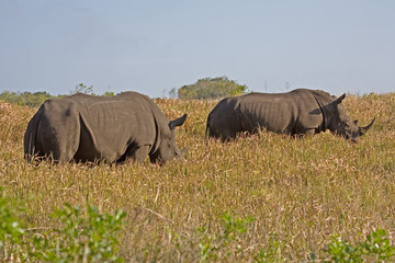 Two rhinoceros in South Africa