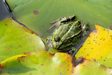 Frosch - frog 04