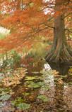 autumn color in Taxodium,flood-tolerant conifer poster