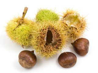 horse chestnuts conkers