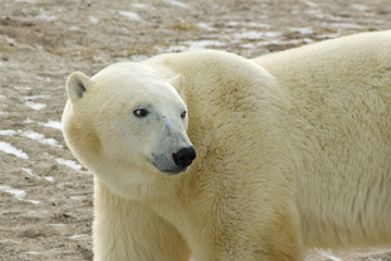 Polar Bear In Arctic