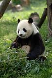 Giant pandas in a field