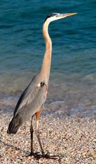 Tri Color Heron on the Beach