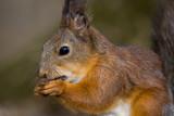 Sciurus vulgaris, Red squirrel Eurasian poster