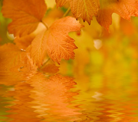 dark yellow leafs in autumn, reflecting in the water
