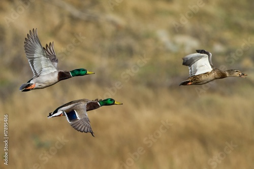 Foto op Canvas Kip Mallard Flight