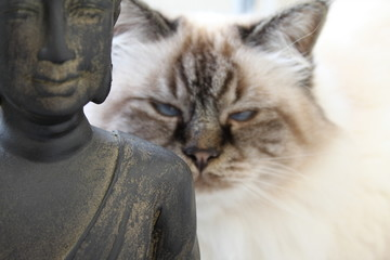 Himalayan cat with buddha