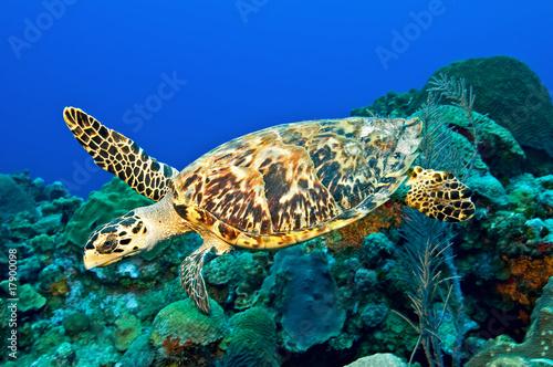 Fotobehang Schildpad Hawksbill turtle