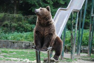 orso dei carpazi