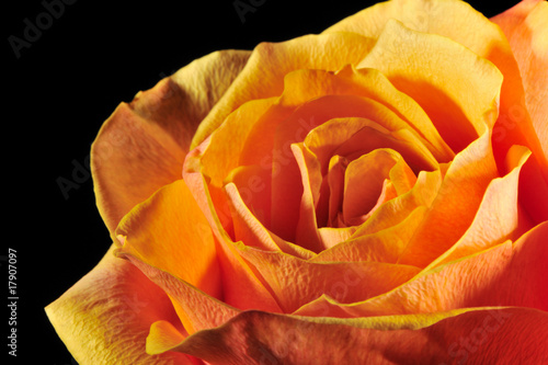 Rose on a black background