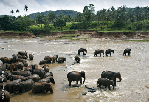 Herd of Wild Elephants in river