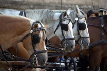 cavalli con paraocchi