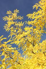 Gemeine Esche (Fraxinus excelsior, Common Ash) im Herbstlaub