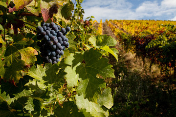 Port wine grapes on a vineyard in the Douro Region, Portugal.