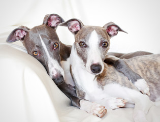 whippets friendship