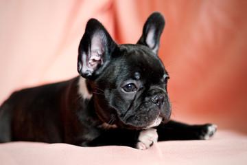 french bulldog puppy in a studio